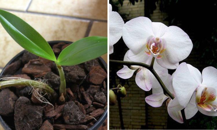 voici comment faire refleurir une orchid e fan e cuisine sant. Black Bedroom Furniture Sets. Home Design Ideas