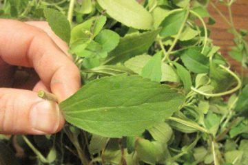 arreter-de-fumer-stevia
