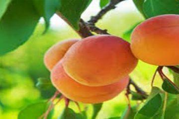 abricot-b17