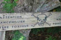 L'arbre de la mort Le mancenillier, l'arbre le plus dangereux du monde