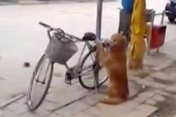 Ce chien surveille le vélo dans la rue...mais observez ce qui se passe quand le propriétaire arrive !