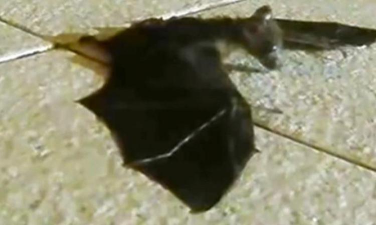 Ce bébé chauve-souris pleure en appelant à l'aide...impossible de deviner qui vient à sa rescousse !